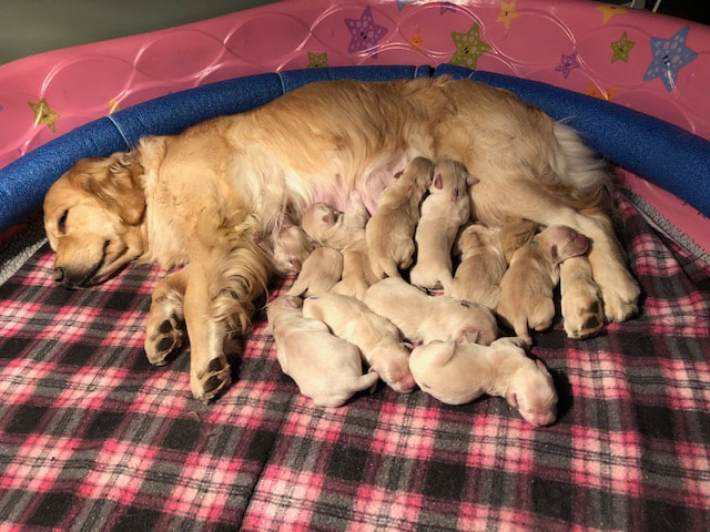 Rheagan's Previous Litter of 12, born 10/3/2017
